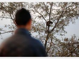 """尼泊尔一野豹""""挂""""树顶休息 无视民众围观"""
